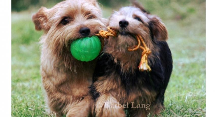 ASTERUS Norfolk Terrier