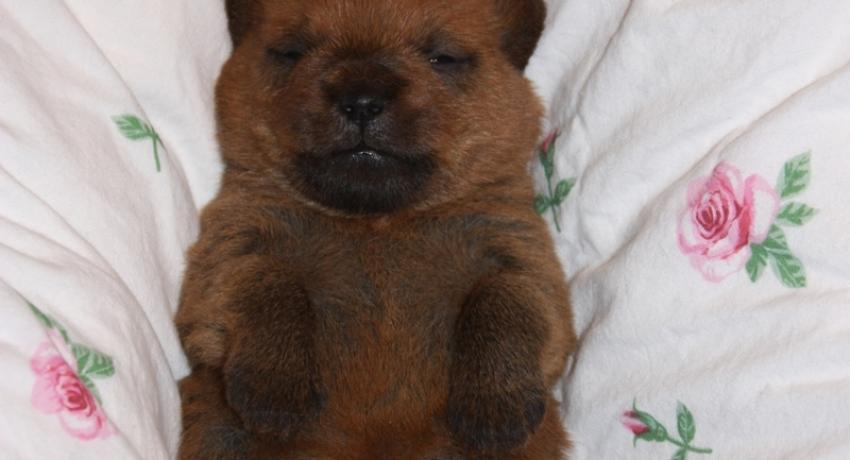Norfolk Terrier Welpen
