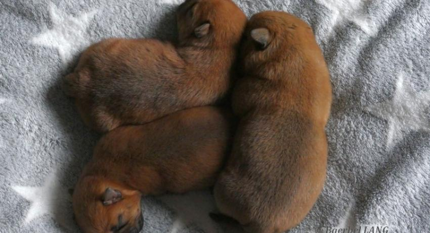 Norfolk Terrier chiots