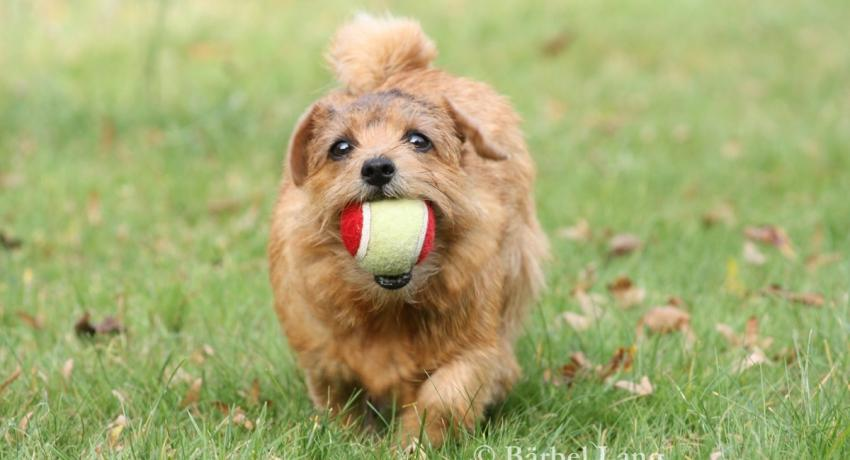 Norfolk Terrier