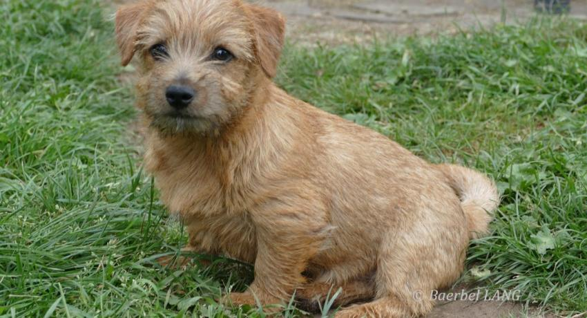 ASTERUS Norfolk Terrier Welpen